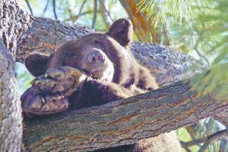 A bear hangs out in a tree in Incline Village.