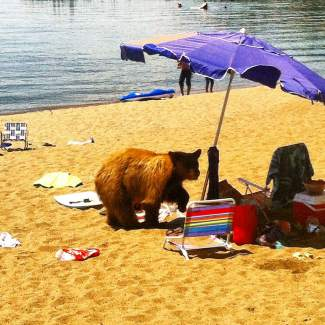 This photo provided by the Nevada Department of Wildlife shows a black bear Wednesday, July 9, 2014, on a Lake Tahoe beach in Glenbrook. The bear had to be killed by state wildlife officials because it had become a threat to public safety.