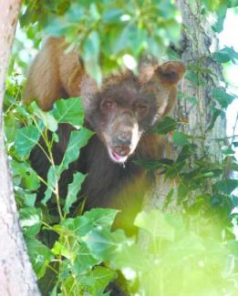 This 400-pound black bear was tranquilized in a Carson City neighborhood in 2009.