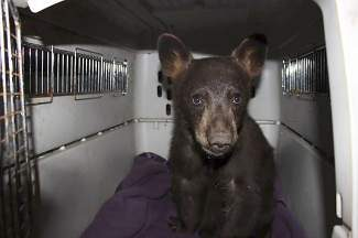 This 39-pound male black bear suffered two broken bones after being hit by a car recently. It was rescued Thursday in Truckee and had surgery Friday.