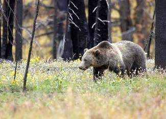 Today, 1,850 wild grizzly bears live in the United States, spread over four states — Montana, Wyoming, Idaho and Washington, according to the U.S. Fish and Wildlife Service.