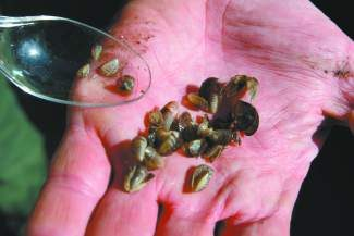 Lake Tahoe boat inspectors caught several vessels in 2013 with invasive and non-native quagga mussels attached to them.