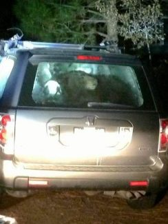 Officers broke a window in this SUV in Truckee late Sunday to free the bear seen trapped inside.