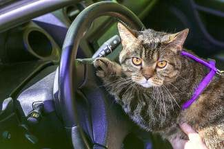 Make your kitty comfortable during car travel with a few training techniques.
