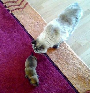 While Bandit is growing, you can see just how tiny it still is as it's playfully chased by Bev's cat, Siena.