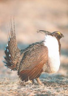 A workshop on the sage grouse's genetics is being conducted.