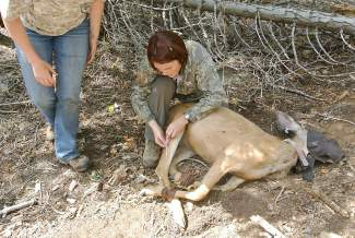 A finished deer getting ready to be released. The tracking collars will automatically fall off within a year.