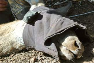 An immobilized deer rests comfortably with eyes covered, while being evaluated by wildlife biologists.