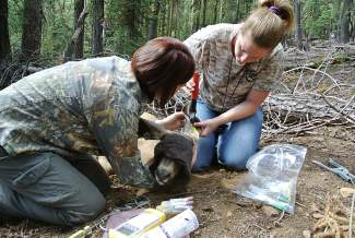 The captured deer were also ear tagged for identification purposes.