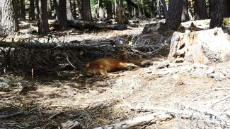 A processed deer waking up from the capture.