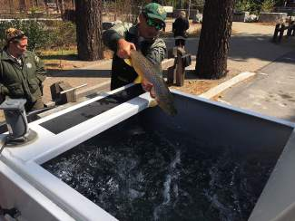 A California Department of Fish and Wildlife employee puts a caught fish into a holding tank for transportation Tuesday.