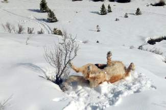 Livin' the Good Life: Smokey the dog gets in some quality snow-rolling at Prosser Reservoir.