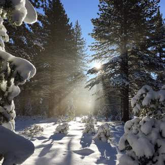 Winter Scene: Snowy trees in Sierra Meadows filter the sun on a bluebird day.