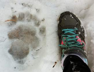 Big Foot: A large paw print is pictured in the snow in a Sierra Meadows yard on Sunday.