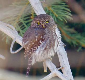 What a Hoot: A northern pygmy owl perches on a branch outside of a Tahoe Donner condo last month.