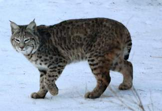 Cat Town: Yet another bobcat is pictured in Truckee, this time in Prosser Lakeview.