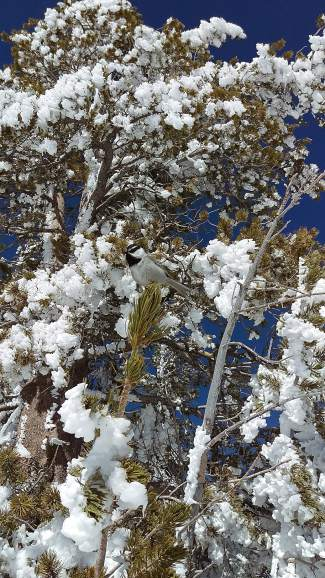 Ice Flowers: A chickadee hangs out on a lodgepole pine after Monday's storm.
