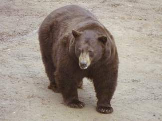 Chubs on the Prowl: Butterball the bear looks to have wintered well.