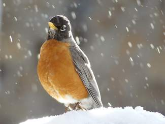 Happy Bird: A robin takes a break from its worm breakfast.