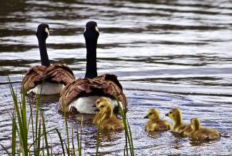 Family Outing: A family of geese cruise on the Glenshire pond last Thursday.