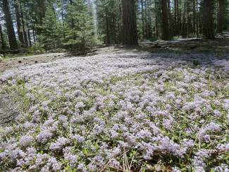 Because of the recent rains, perhaps the finest bloom of flowers at Squaw is seen in mid-May.