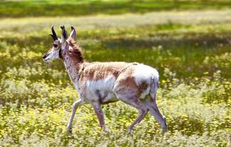 Just Grazin': A pronghorn antelope enjoys the sunshine in mid-May in Sierra Valley.