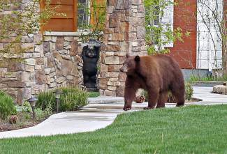 Howdy, Neighbor: A black bear wanders around the Blue Lake Avenue in South Lake Tahoe.
