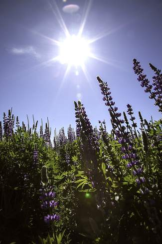 Lupines And Light: The Sierra sun shines brightly in mid-June across the lupine flower field at Lake Forest Beach in Tahoe City.