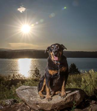 Marvelous Mia: This georgics dog named Mia, owned by Jon Porter, is photographed in mid-June at Boca Reservoir with the Sierra sun shining in the background.