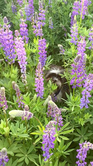 Peek-a-Boo: Look carefully and you'll see there is more than just lupine flowers to view during this late-June photo near the Gatekeepr's Museum in Tahoe City.