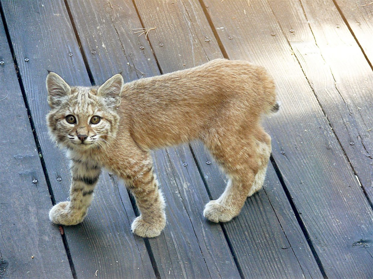 Beautiful Bobcat: A baby bobcat walks on a deck in Ponderosa Palisades in Truckee on Aug. 31. The cat looked around for awhile and then harmlessly strolled back into the forest.Photo: Ann Penfield