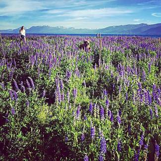 Lupine. Submitted using #TahoeSnaps on Instagram.