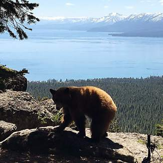 Bear enjoying the Tahoe Rim Trail Vista near Watson Peak. Submitted using #TahoeSnaps on Instagram.