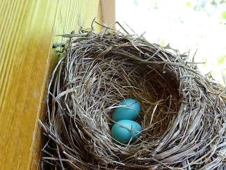 What are Tahoe birds up to when eying your decks for nesting