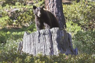 A mama bear climbs up on a large stump on Sept. 2, 2015, in search of her cub. Both bears were released above Crystal Bay after they were accidentally captured by Nevada Department of Wildlife.
