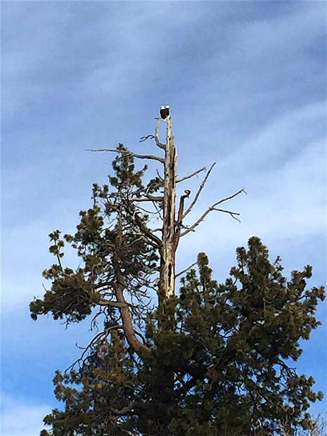 Wonderful Wildlife: A pair of bald eagles sits perched atop a tree on Dec. 8 at the south end of Hurricane Bay at Elizabeth Park. Photo: Don Edelstein