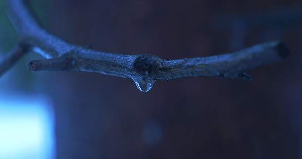 Drop in the Pan: A single raindrop hangs precariously from a Truckee tree branch in early January. Photo: Richard R. Rodriguez
