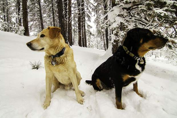 "Doggone Good Time: Cody Salinas' dogs enjoy the deep snow in Glenshire on Jan. 12. Cody joked that he loves his dogs dearly, although they ""need 90-minute snowshoeing sessions in feet of snow to remain happy."" Photo: Cody Salinas"