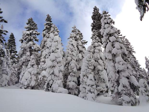 After The Storm: Pine trees across the region, like the ones seen here in the area of Martis Peak on Jan. 14, are heavily coated in snow after the recent big storms. Photographer: Sharon Wilson