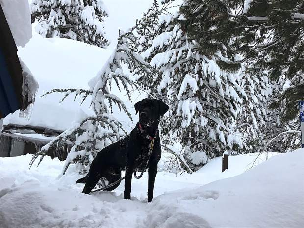 On The Lookout: Buster, a 4-year old labrador retriever, plays King of the Mountain outside a cabin in Incline Village on Jan. 21. Photo: Kimberly Whitlock