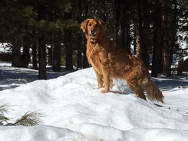 Standing Watch: Miley the dog stands watch atop the snow in Truckee on Feb. 7. Photo: David Harrison