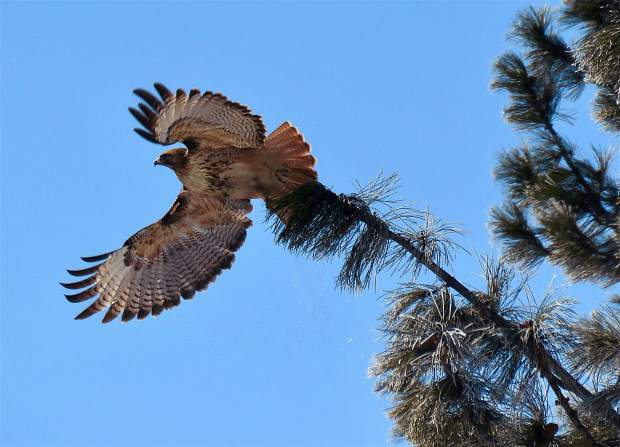 Soaring The Sierra: A hawk takes flight on March 2 after being perched on a tree in Glenshire. Photo: Stacy Jeremias