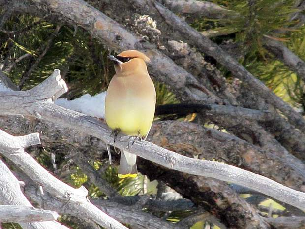 Cedar Surprise: A cedar waxwing bird sits perched on a branch near the Carson River in Hope Valley on March 1. Photo: Karen Unrein