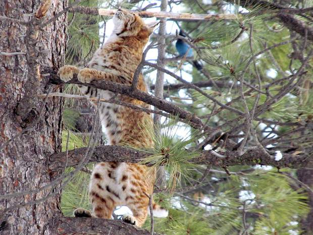Wonderful Wildlife: This bobcat is seen in Glenshire, near the proposed Canyon Springs development location, on March 8 climbing up a tree to capture a squirrel — unsuccessfully. Photo: Rodney Unrein