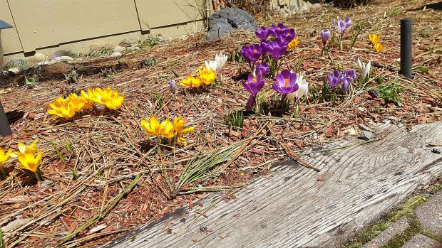 March Flowers: The first signs of spring are blooming, as seen here in late March at Olympic Heights in Truckee. Photo: Barry Triestman