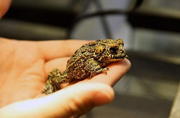 Newly discovered toads in Nevada are facing extinction