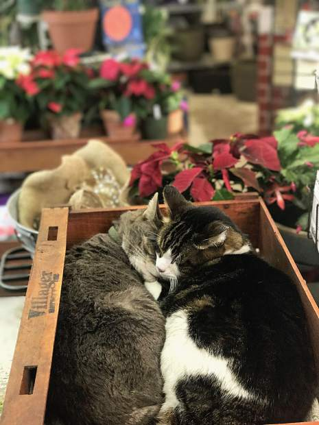 These shop cats are the highlight of everyone's visit inside the plant shop, they are adorable and clearly getting in the holiday spirit with all of the decorations around.