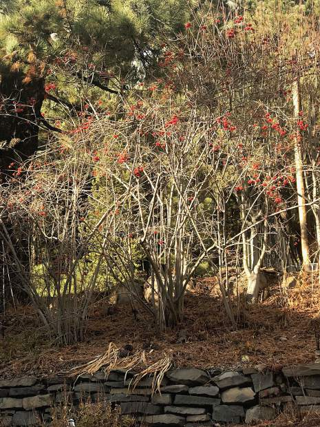 Larusson's favorite winter tree is the High Bush Cranberry, which displays these cheery red berries all year long.