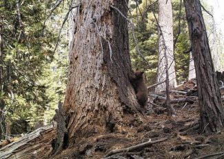 Lake Tahoe is bear country here are some details on what that means