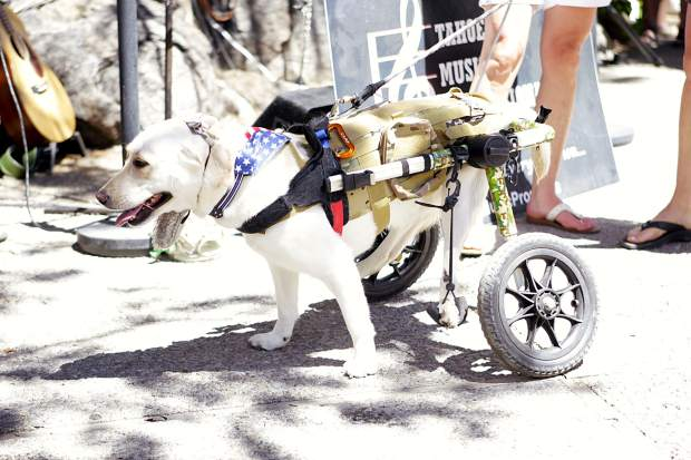 Chetak, this year's winner of the Dogz and Dudz contest, sports a patriotic look with a camouflage dog wheelchair.